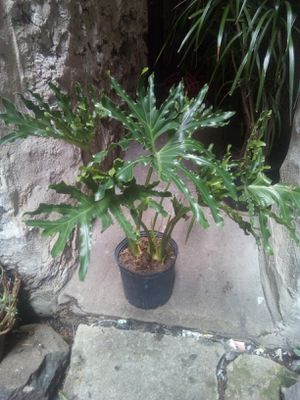 Indoor plant for Sale in The Bronx, NY