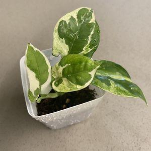 NJoy Pothos - N Joy Pearls n Jade Plant for Sale in Goleta, CA