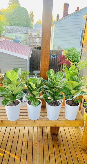 Price is for each—Live indoor Fiddle Leaf Fig (Ficus Lyrata) house plant tree in a ceramic planter flower pot—firm price for Sale in Seattle, WA