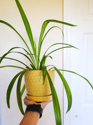 Spider plant (house plant) for Sale in Linden, NJ