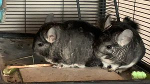 Two male chinchillas with cage and all the necessary equipment included for Sale in Antioch, CA