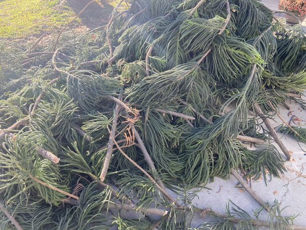 Free Fresh Cut Pine Branches For Christmas Wreath