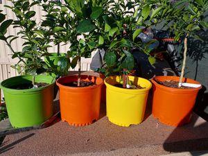 5 fruit trees 100$ for Sale in Phoenix, AZ