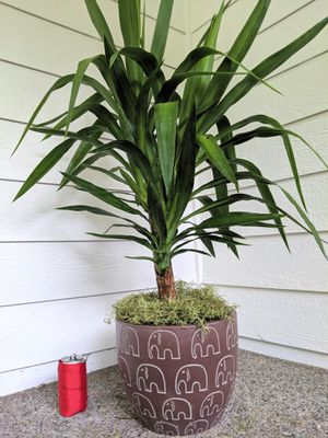 Yucca Plant Tree in Elephant Pattern Ceramic Planter Pot- Real Indoor House Plant for Sale in Auburn, WA