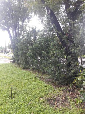 Podocarpus 6ft tall $20 ea you dig out! for Sale in Oakland Park, FL