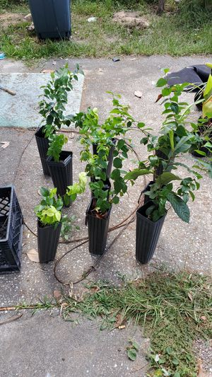 Cherry trees for Sale in NW PRT RCHY, FL