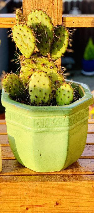 Live outdoor Prickly Pear cactus 🌵 house plant in a textured ceramic planter flower pot—firm price for Sale in Renton, WA