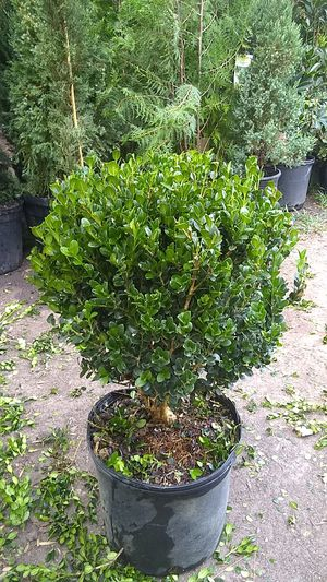 Topiary Globe boxwood for Sale in Houston, TX
