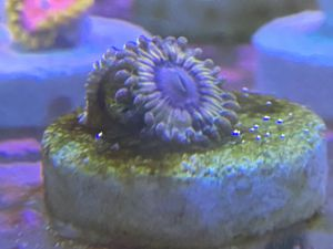 Queen Strats, zoa, zoanthid, coral, aquarium for Sale in Hawthorne, CA
