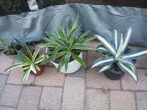 Various agaves and aloes for Sale in Fullerton, CA