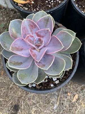 Large Succulent in 1 gal pot for Sale in Garden Grove, CA