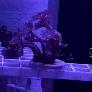 Pink Clove Polyp Coral Frag for Sale in San Dimas, CA