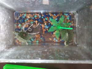 2 turtles for 10$ for Sale in Modesto, CA