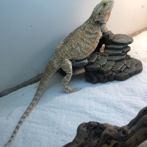 Female Bearded Dragon Toy for Sale in Inglewood, CA