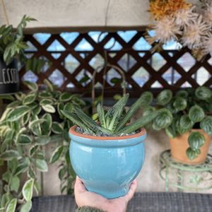 Gasteria Little Warty Succulent Plant (Planter Included) for Sale in Huntington Beach, CA