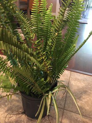 Fernnplant for Sale in Orlando, FL