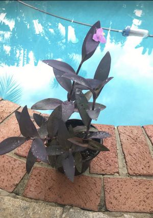 Purple Queen Plant for sale! for Sale in Coconut Creek, FL