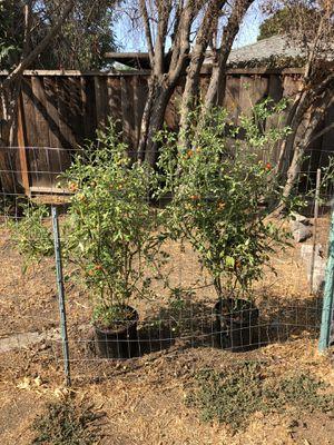 Cherry tomato for Sale in San Jose, CA