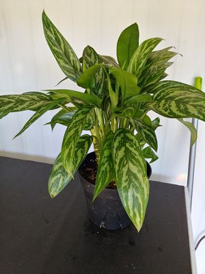 Houseplant for Sale in Fremont, CA