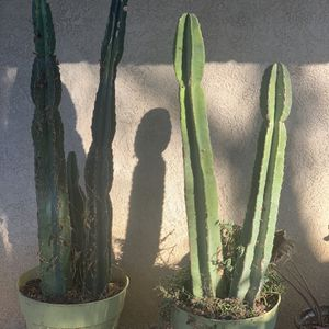 Cactus for Sale in Bakersfield, CA