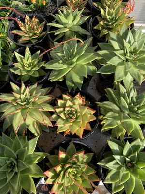 Beautiful succulent plants for Sale in Spring Valley, CA