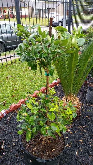 Topiary wax ligustrum for Sale in Houston, TX