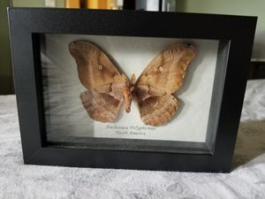 Antheraeapolyphemus moth for Sale in Oregon City, OR
