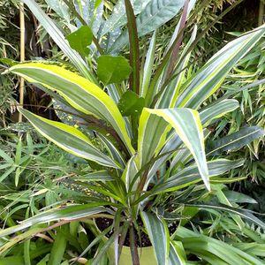 INDOOR PLANT for Sale in Bakersfield, CA