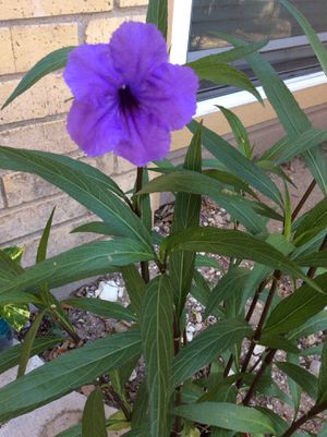 """31"""" Organic Homegrown Live Blooming Ruellia Brittoniana, Purple Showers, Mexican Bluebell Plant, Mexican Petunia Plant (Ruellia Brittoniana) for Sale in Austin, TX"""