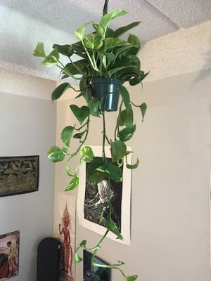 Gorgeous lush hanging plant. for Sale in Denver, CO