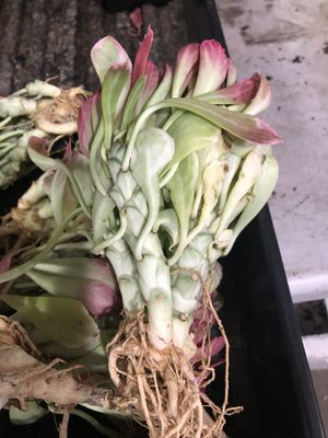 1 Euphorbia Heteropodum cluster variegated for Sale in Garden Grove, CA