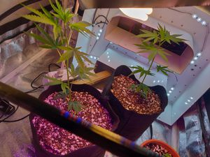 Cannabis plants. Cloned for Sale in Las Vegas, NV