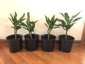 Small Dracaena Cintho Plants for Sale in Woodridge, IL