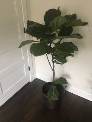 Fiddle leaf fig tree 5 foot tall for Sale in Portland, OR