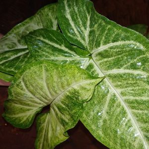 Syngonium plant Variegated for Sale in Jensen Beach, FL