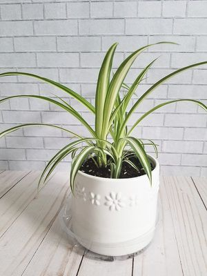 Cute Live Spider Plant in a Ceramic Pot for Sale in Lynnwood, WA