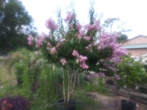 Crepe myrtle delivering plant in $45 for Sale in Clearwater, FL