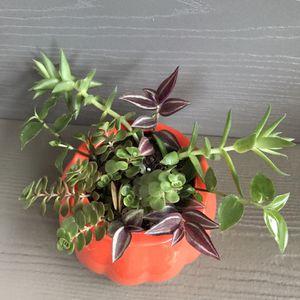 """🍁🍂Cute autumn live succulents plants arrangement of house plants in a pumpkin pot 3.5""""H. for Sale in Everett, WA"""