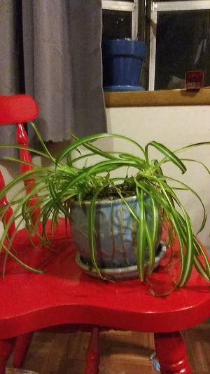 Spider plant for Sale in Piedmont, SC