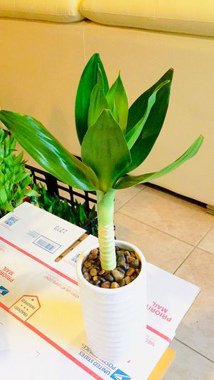 Lotus bamboo Real Live Indoor Houseplant Plant for Sale in Garden Grove, CA