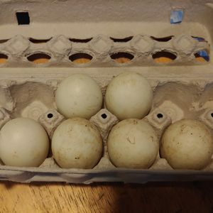 6 Hatching Mixed Duck Eggs(Read Below) for Sale in Battle Ground, WA