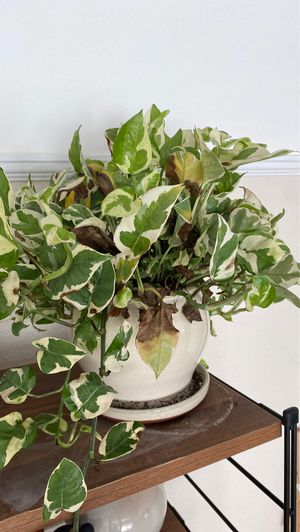 House plant for Sale in San Diego, CA