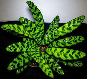 Calathea Lancifolia for Sale in Port Richey, FL