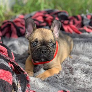 Frenchie for Sale in Kissimmee, FL