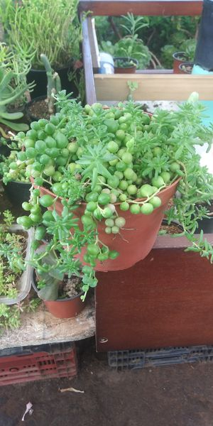 String of pearls succulent for Sale in San Marcos, CA