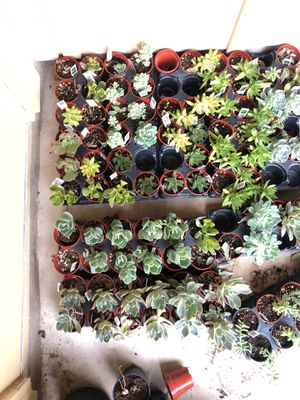 Succulent sale for Sale in Pflugerville, TX