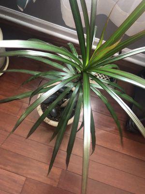 Natural plant for Sale in Aurora, IL
