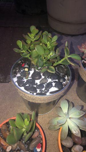 Succulents for Sale in Midlothian, IL