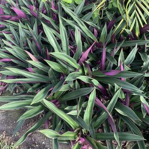 Free Oyster Plants for Sale in Fort Lauderdale, FL