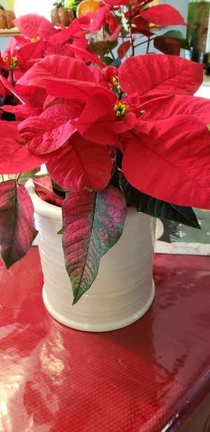 Ceramic canister with poinsettia for Sale in Berkley, MA